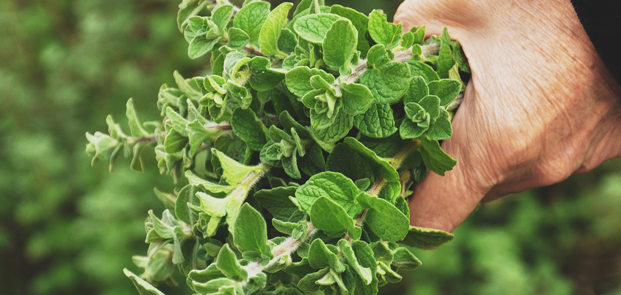 Greek Oregano Outter Image